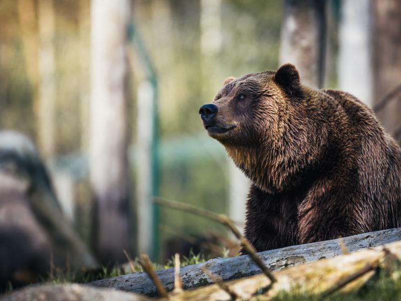 dream of bears