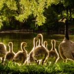 dreaming of ducks