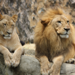 meaning of dreams with lions